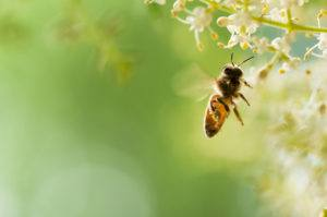A flying honey bee in beautiful natural background.