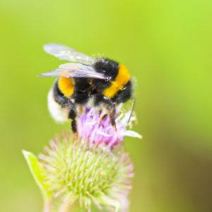 A bumble bee sitting on wild flower.