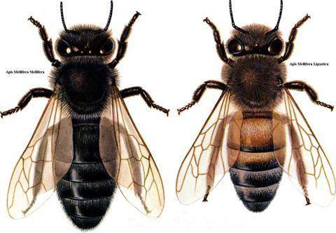 Apis mellifera mellifera, commonly called 'European dark bee' or 'German black bee, and the Italian Bee.