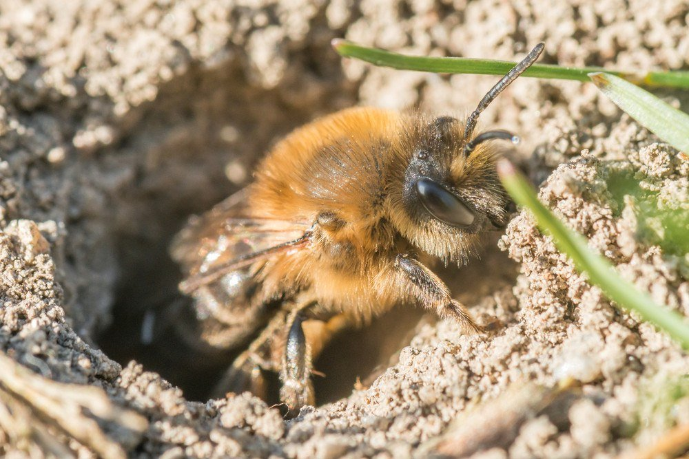 3 Simple (but Effective) Ways to Get Rid of Ground Bees