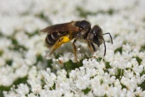 A sweat bee in white flowers.