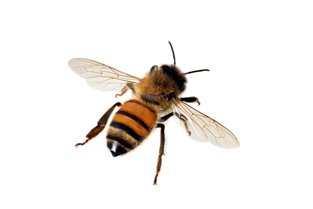 A Western honey bee on the white background.