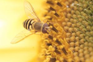 Bee and Sunflower. Transparent wings