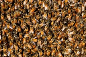 This picture is full of honey bees in a swarm.
