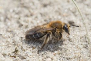A mining bee on the ground.