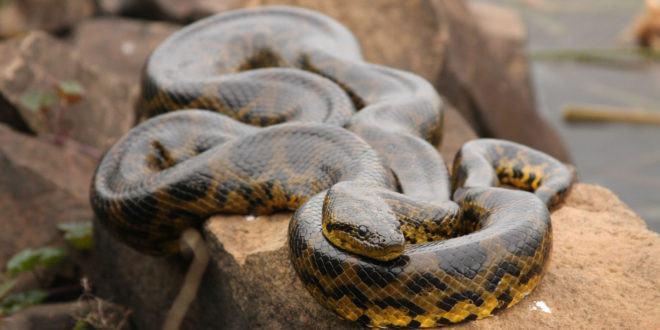 Anaconda lying on rock