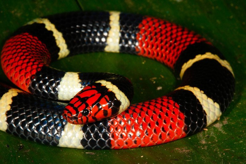 Aquatic coral snake on ground