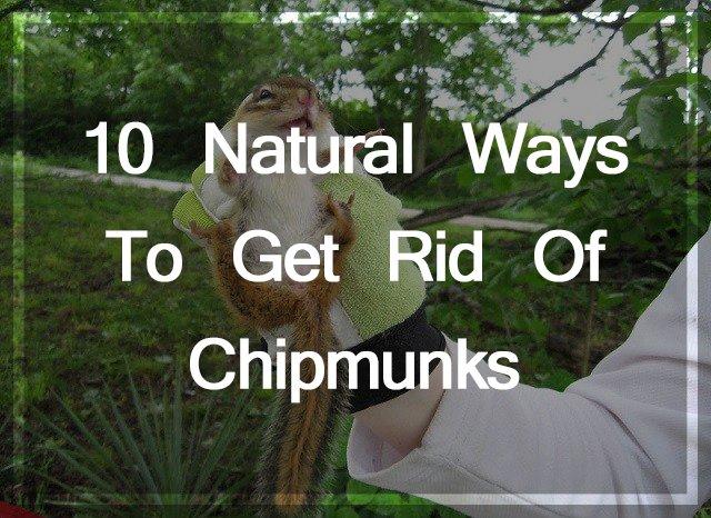 Get Rid of Chipmunks