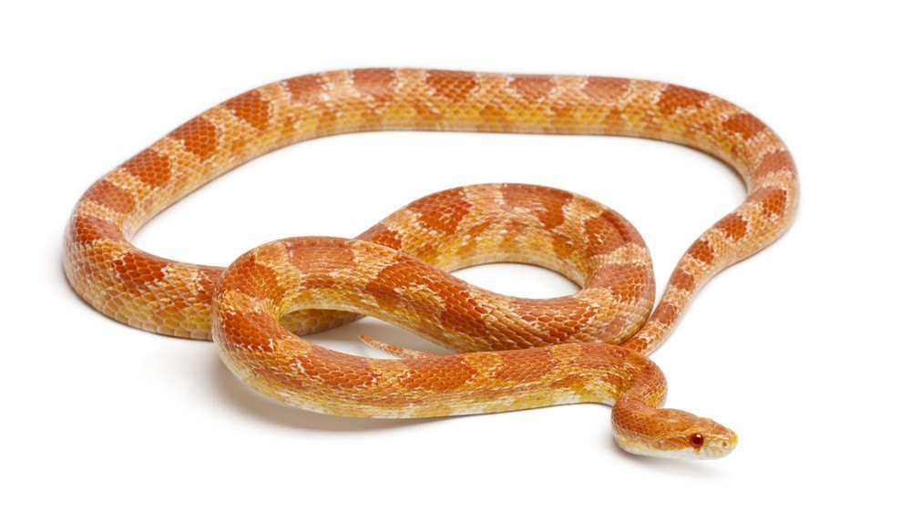 Albinos corn snake in front of white background.