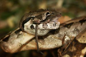 Bia constrictor is hunting mice on the ground.
