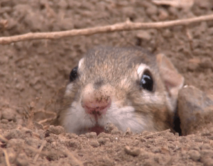 Cute chipmunk pops out its head from the burrow.