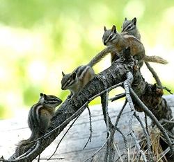 Several chipmunks in nature.