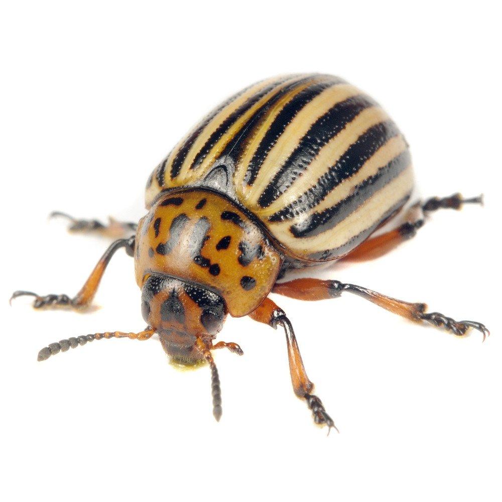 Colorado potato beetle on the white.