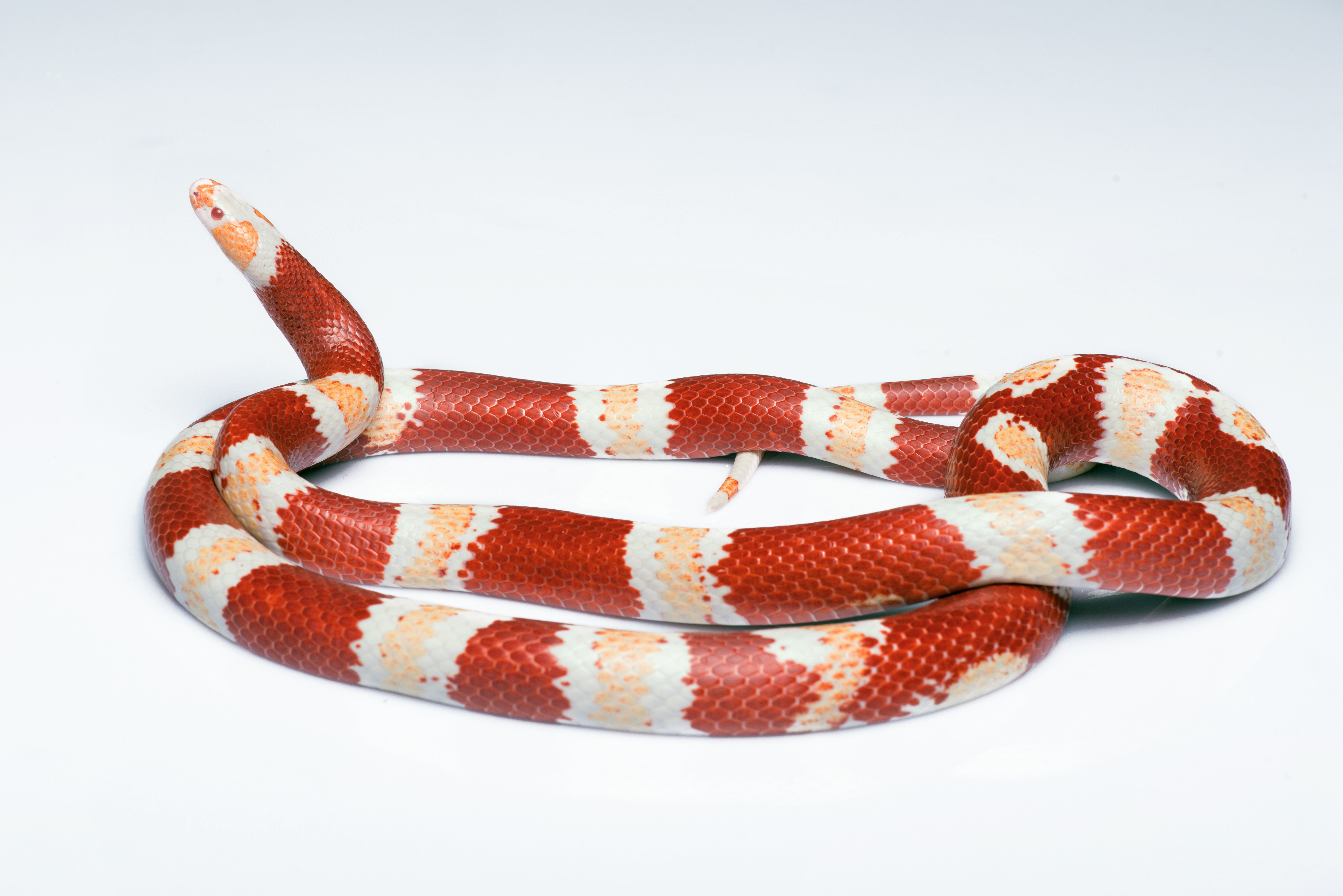 Corn Snake with red and white stripes.