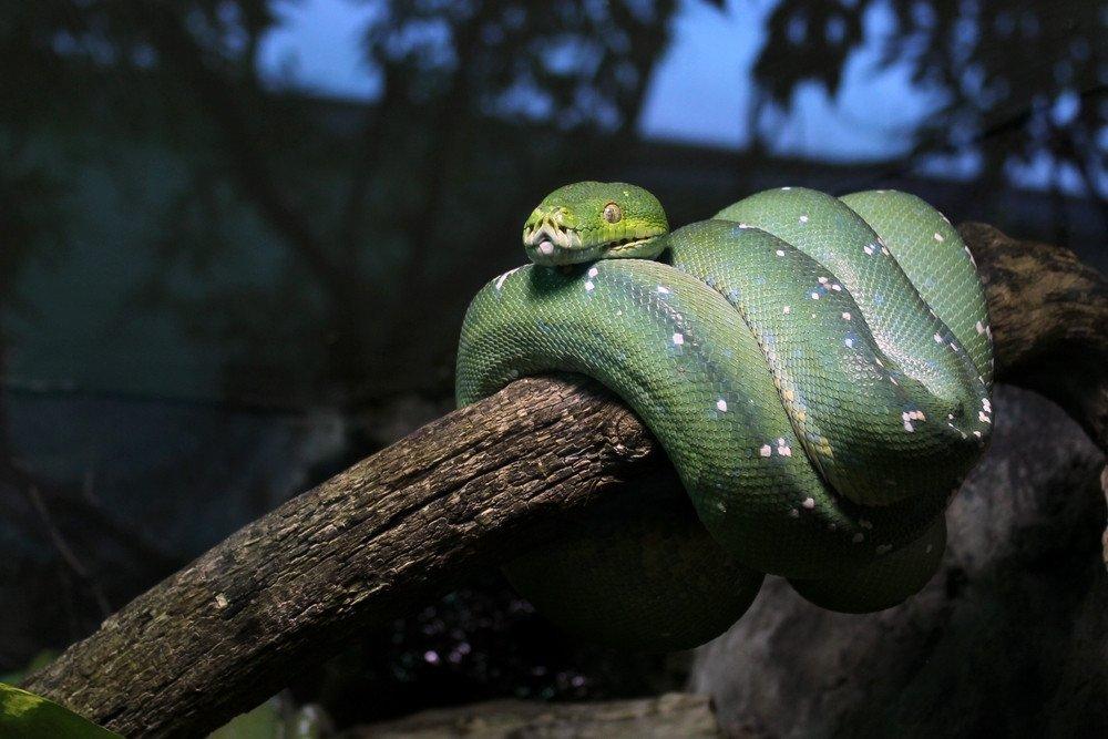 Emerald tree boa on a branch.