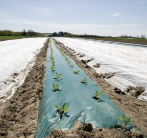 Farmland with row of seedling pocking out of the plastic cover.