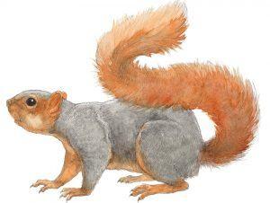 Single fox squirrel on white backdrop.