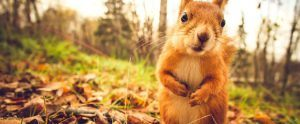 Cute fox squirrel in sunshine.