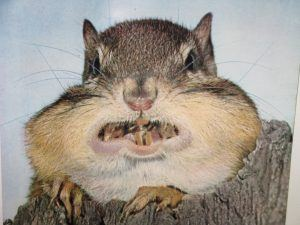 Close up of a chipmunk full of acorns in mouth.