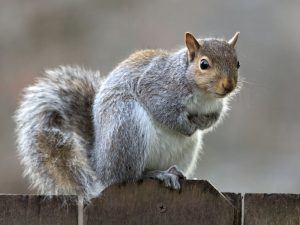 Cute gray squirrel on the fence.