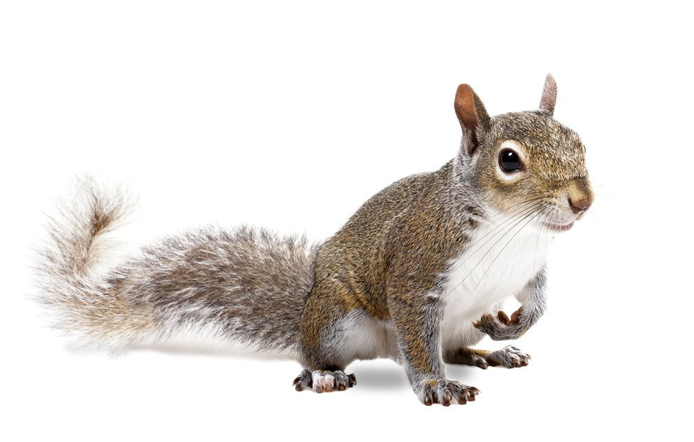 The American gray squirrel paw anxiously pressed to his chest.