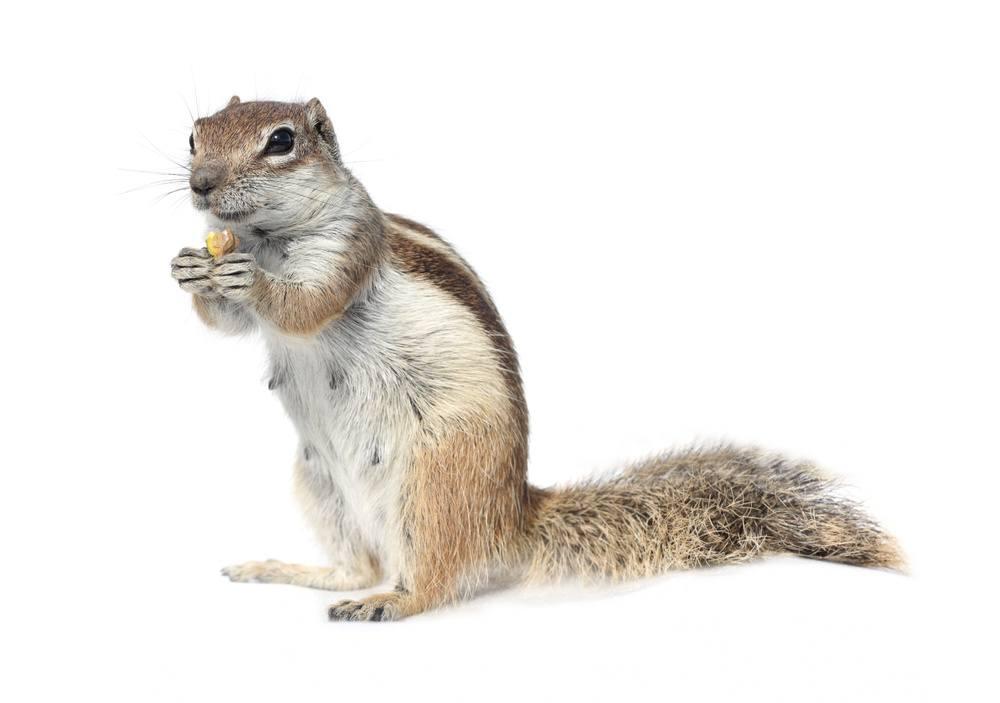 A cute ground squirrel nibbling a nut.