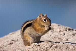 Ground squirrel on rock.
