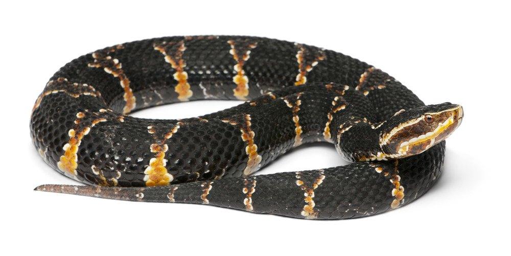 Moccasin snake on white background.