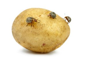 Potato infested with Colorado potato beetles isolated on the white background.