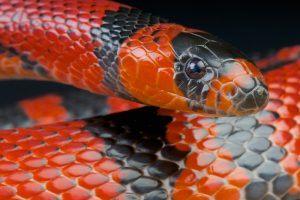 Red milk snake on black background.