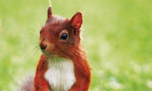 Cute red squirrel on green backdrop.