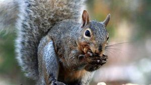 Gray squirrel is eating in nature.