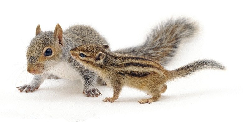 A Squirrel With Chipmunk On White Background