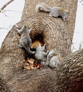 Several squirrels on the tree.