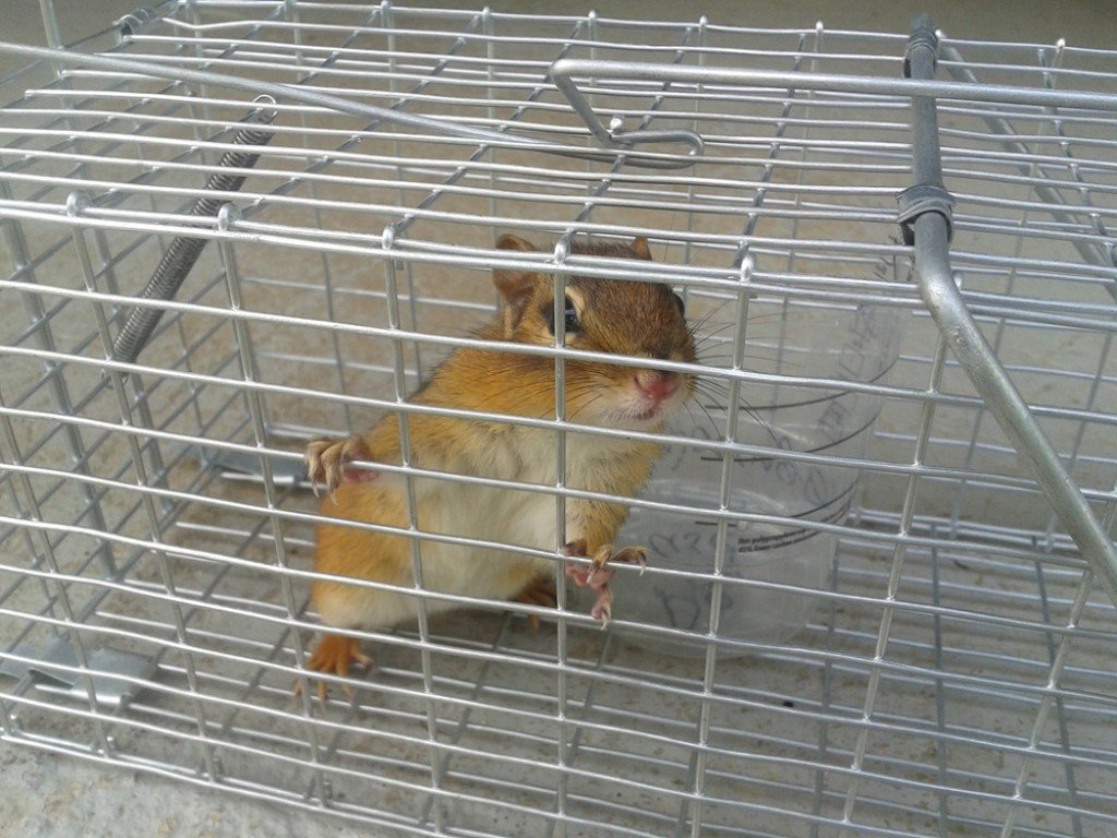 Chipmunk in a animal trap