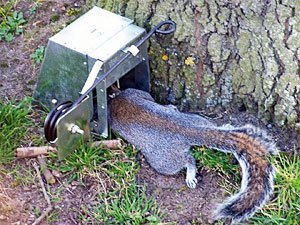 A ground squirrel is getting in to the trap.