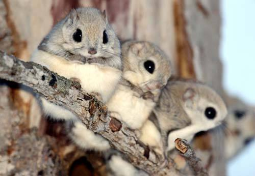 Young flying squirrels together on the branch.