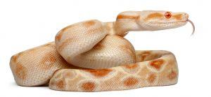 Boa constrictor on white background.