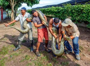 A group of staff kennel show tourists six meters anaconda
