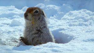 Arctic ground squirrel in ice hole.