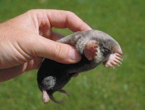 Hand holding a baby mole