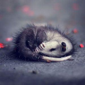 Baby possum sleeping on the ground