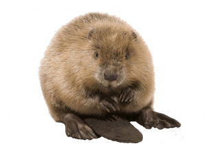 A beaver isolated on white backdrop.