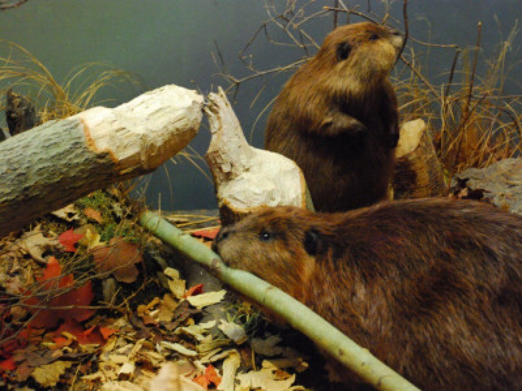 Beaver damage in nature.