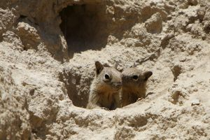 Two Belding's ground squirrels in hole among rocks.