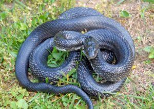 Black Ratsnake on grass