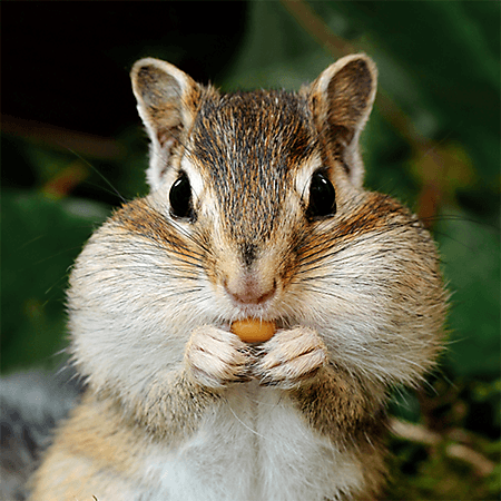 Chipmunk stuffing its cheeks with food