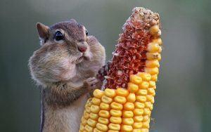 A chipmunk eating corn