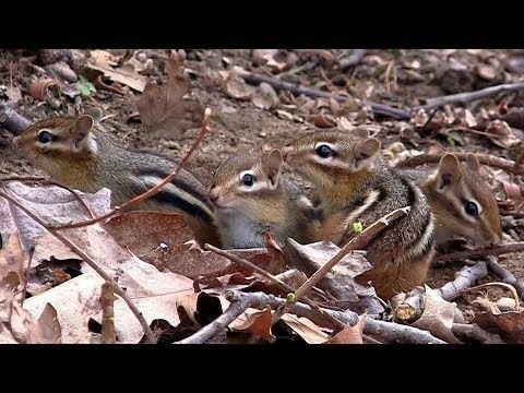 Group of chipmunks in the forest