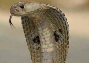 The India common cobra